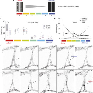 (PDF) The role of differential VE-cadherin dynamics in