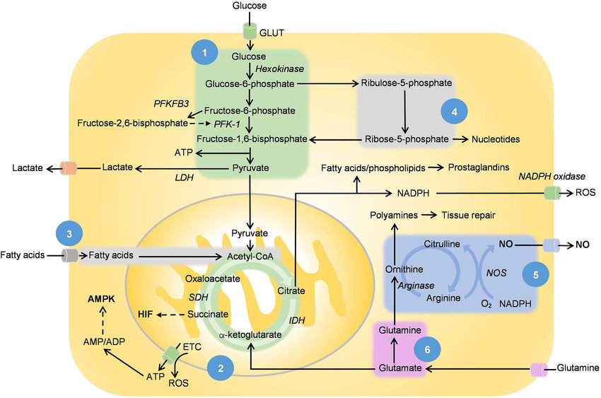 1 Glycolysis 2 Tricarboxylic Acid Tca Cycle And