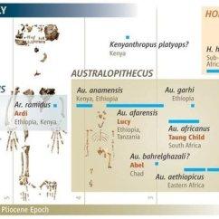 Diagram Of Evolution Timeline Tongue Taste Human Download Scientific