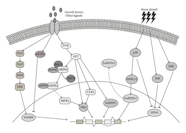 Signaling-activated kinases regulate splicing factor