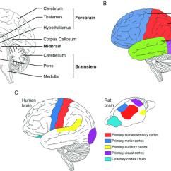 Internal Brain Diagram 2007 Gmc Sierra Radio Wiring Anatomical Representation Of The Human And Rat Brains A Download Scientific