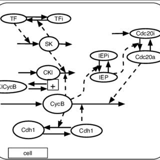 Pathway diagram for the frog egg cell cycle. Cyclin B