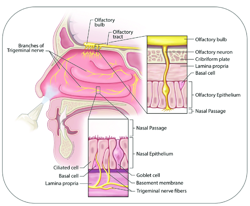 diagram of the human nose 2008 saab 9 3 wiring lateral section shown are key anatomical structures download scientific