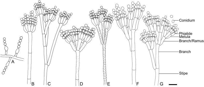 Identification and nomenclature of the genus Penicillium