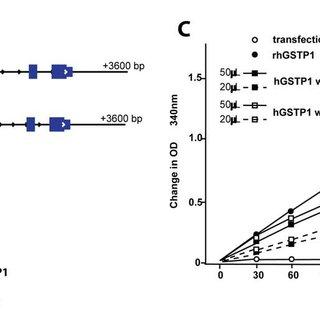 (PDF) Humanizing π-Class Glutathione S-Transferase