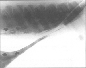 Contrast radiograph of a horse with megaesophagus and