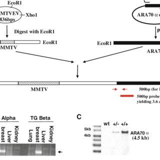 Generation of MMTV-ARA70a and MMTV-ARA70b transgenic mice