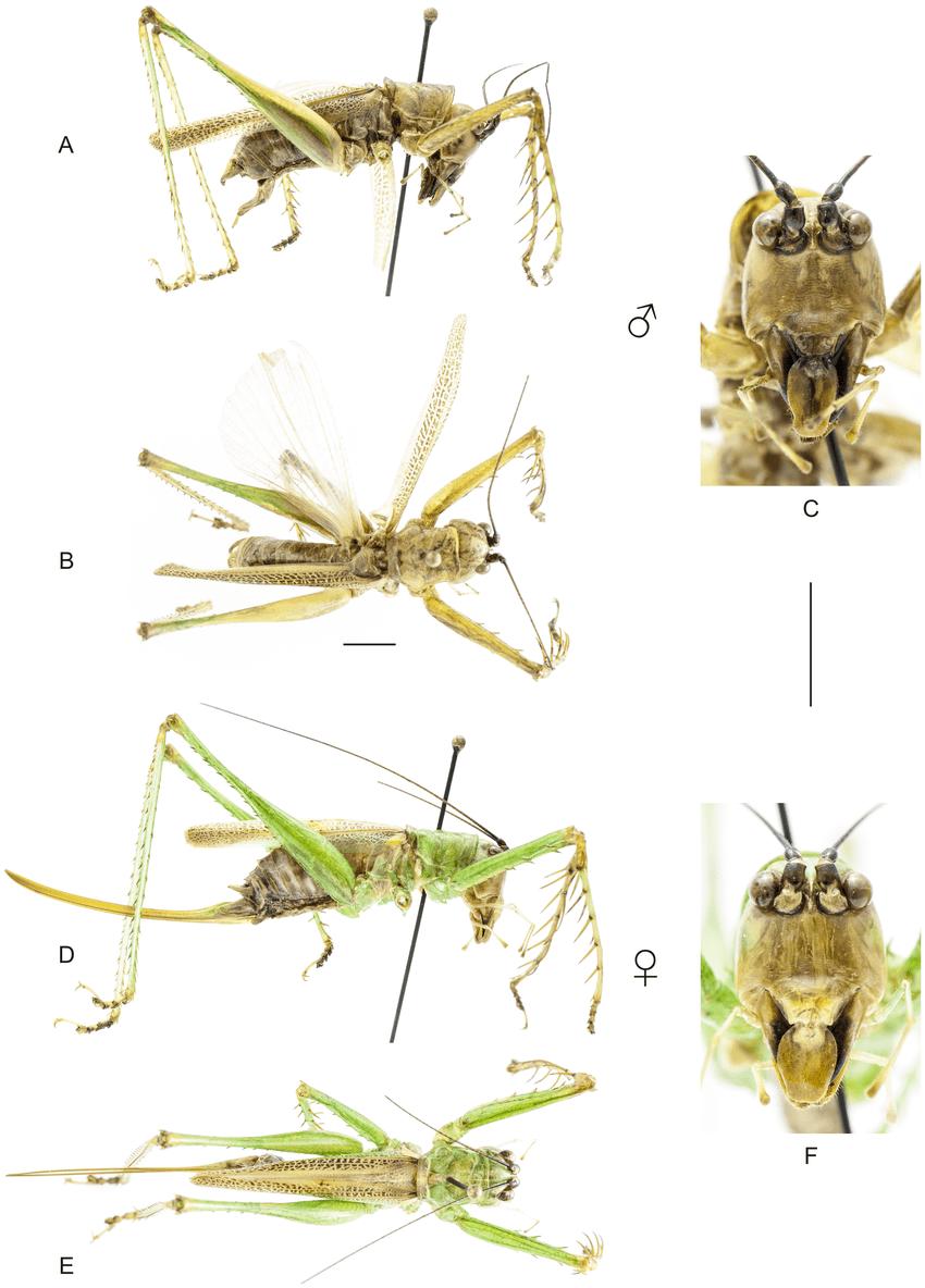 medium resolution of habitus of listroscelis sooretama sp nov a c holotype male a download scientific diagram
