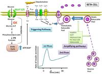 Mechanism of biphasic glucose-stimulated insulin secretion ...