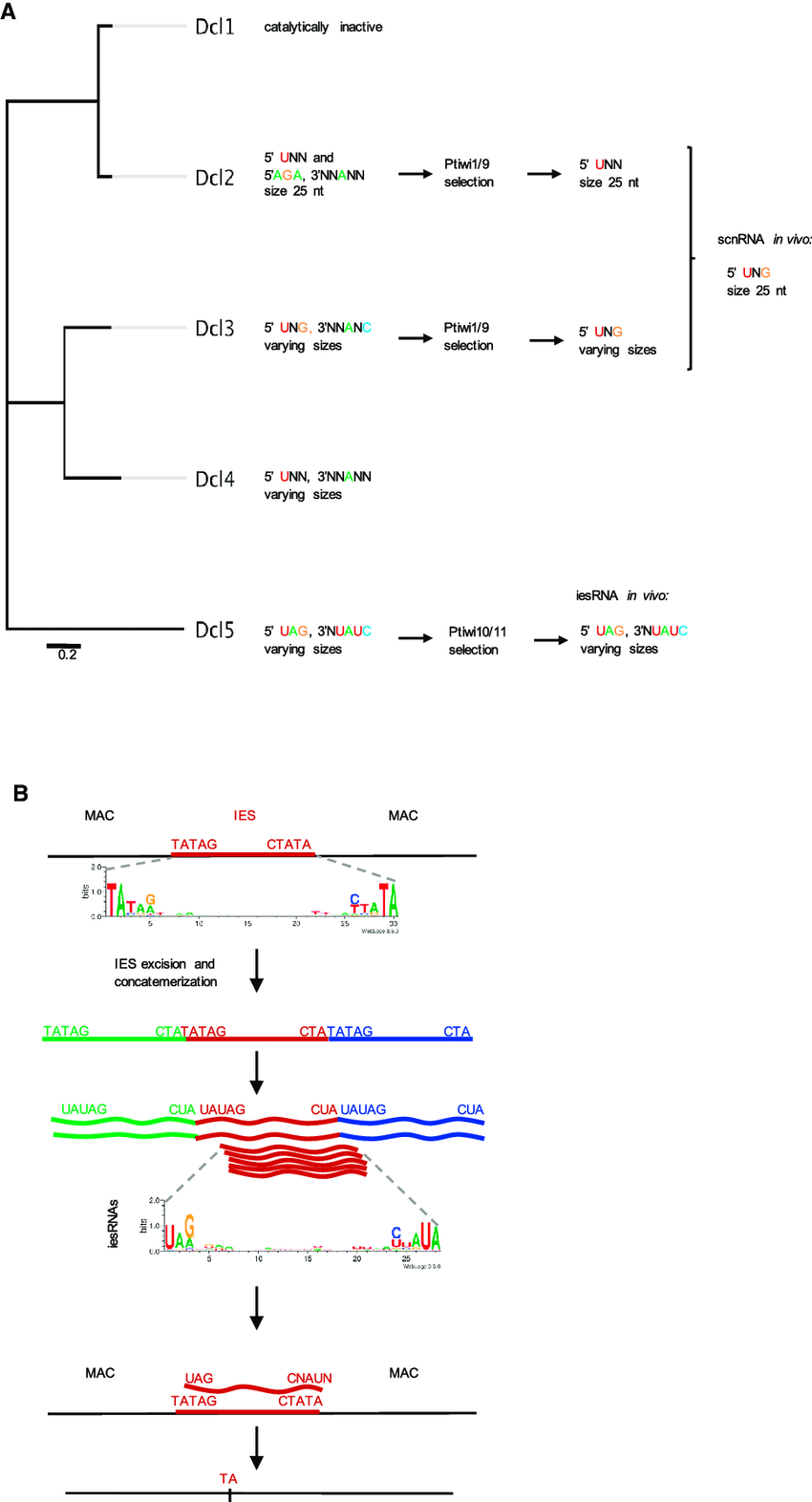 medium resolution of paramecium dicer like cleavage preferences and the role of srna end sequence bias during dna