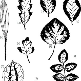 (PDF) The evolution and functional significance of leaf