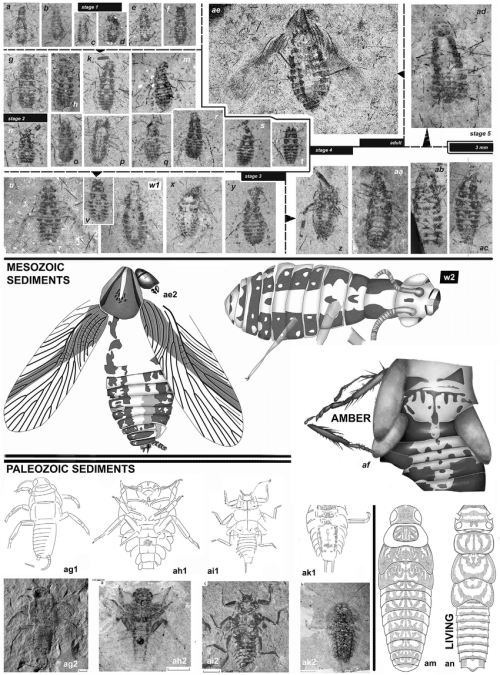 small resolution of jurassic amphibiotic and or aquatic cockroach hydrokhoohydra aquabella sp n a