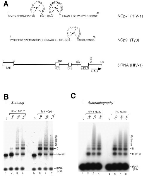 Ty3 NCp9-directed dimerization of HIV-1 5 RNA and