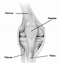 human knee joint with main bones  [ 850 x 983 Pixel ]