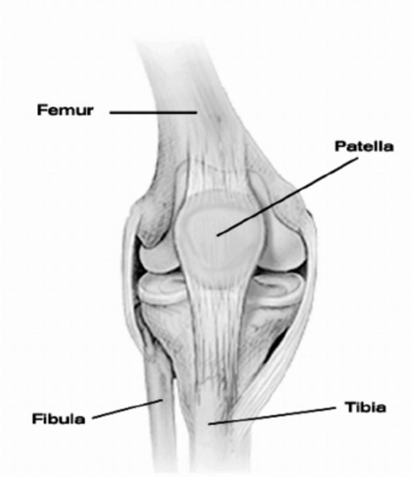 medium resolution of human knee joint with main bones