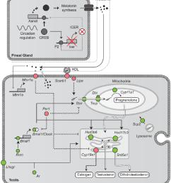 steroidogenesis melatonin and the circadian clock our data showed download scientific diagram [ 850 x 944 Pixel ]