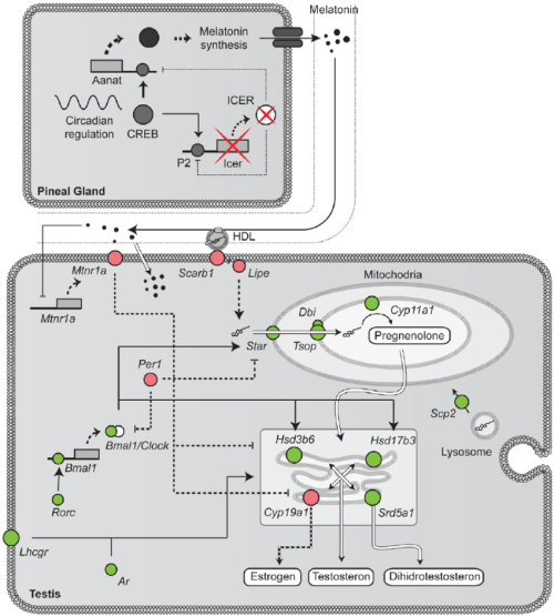 small resolution of steroidogenesis melatonin and the circadian clock our data showed download scientific diagram