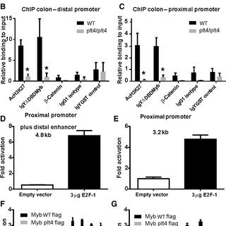 Normal Myb function is required for Ccne1 expression