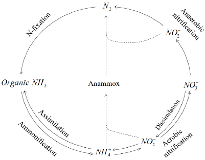 Nitrogen cycle in nature and in Anammox pathway [13