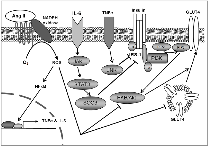 Proposed mechanism for renin-angiotensin system over