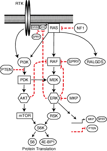 3 The RAS signaling pathway. Shown are the RAS-ERK