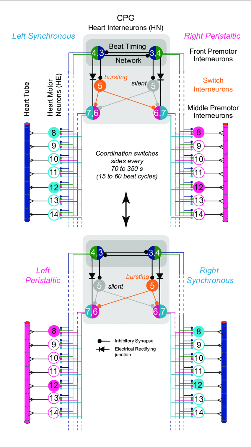 hight resolution of the leech heartbeat system switches between two coordination states circuit diagram including the bilateral homologous