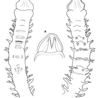 Magelona cf. cincta (A, NMW.Z.2010.037.0038; B, NMW.Z.2010