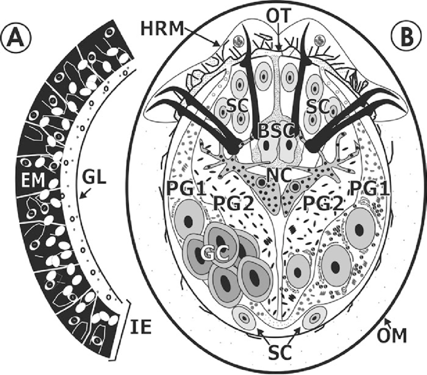 SCHEMATIC DIAGRAM OF A TAENIID ONCOSPHERE ILLUSTRATING THE