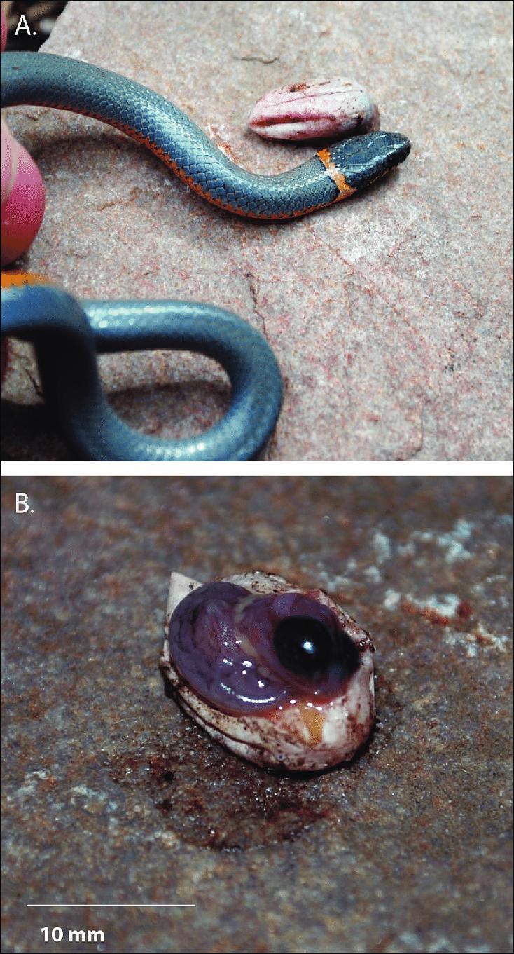 medium resolution of diadophis punctatus a from gila co arizona with a lizard egg download scientific diagram