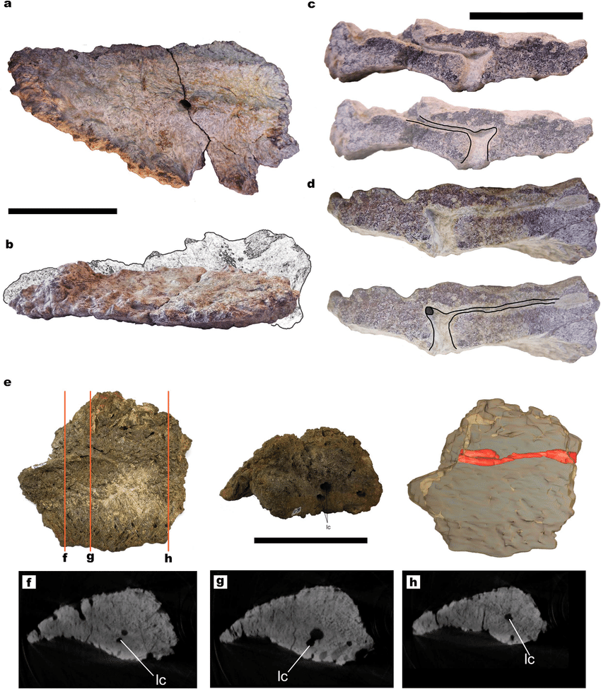 medium resolution of titanosaur osteoderms with small canals and dense spongy bone a hue 02452