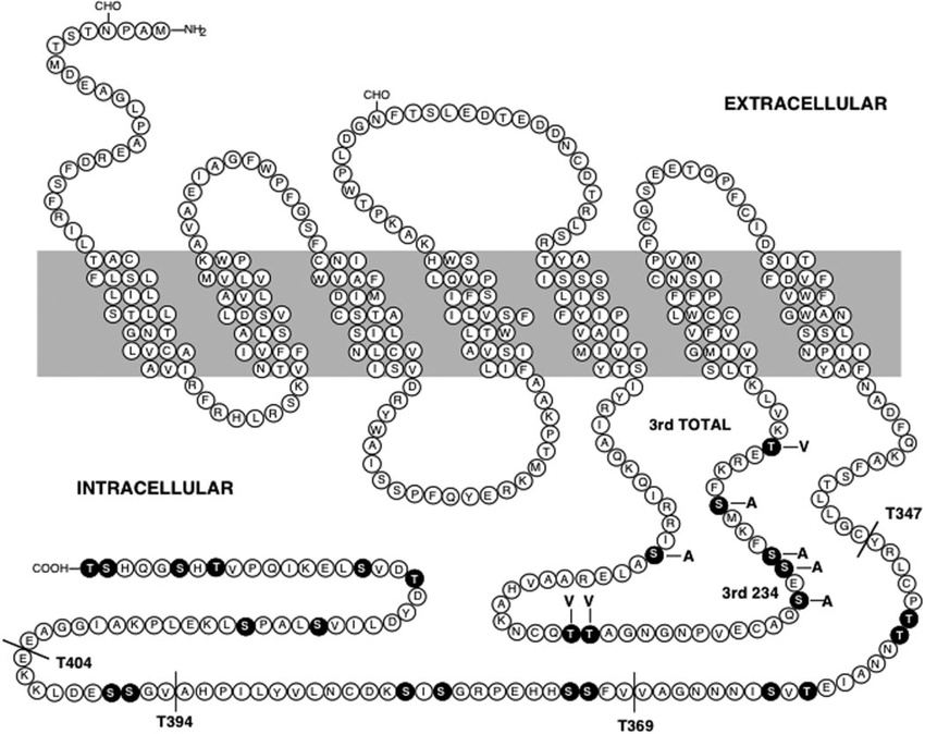 Diagram of the rat D 1 dopamine receptor sequence. The