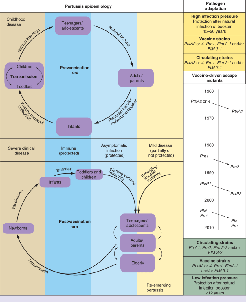 hight resolution of changes in pertussis epidemiology and evolution of bordetella pertussis since the introduction of mass vaccination programs