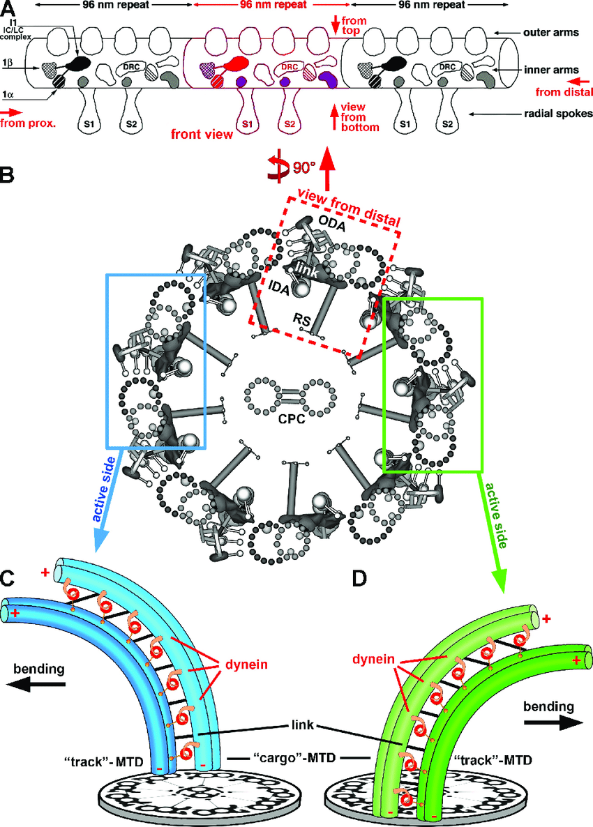 hight resolution of schematic models showing the general organization of cilia and flagella and a model for the conversion