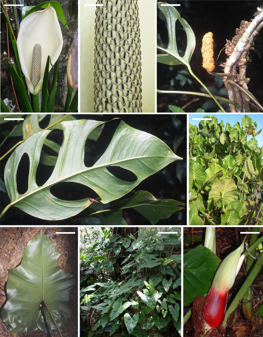 medium resolution of a b monstera adansonii var laniata a inflorescence at male anthesis download scientific diagram