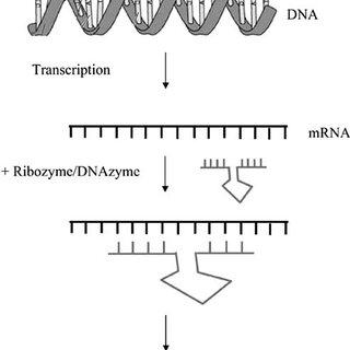 Recombinant antibody categories. The scheme summarizes