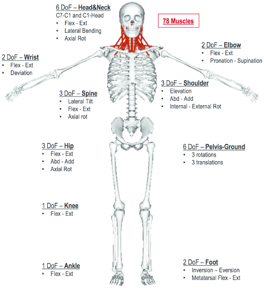 medium resolution of body segments were divided into lower limbs femur tibia talus calcaneus and toe pelvis trunk seven cervical spine vertebrae