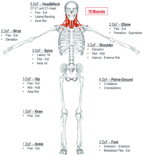 small resolution of body segments were divided into lower limbs femur tibia talus calcaneus and toe pelvis trunk seven cervical spine vertebrae