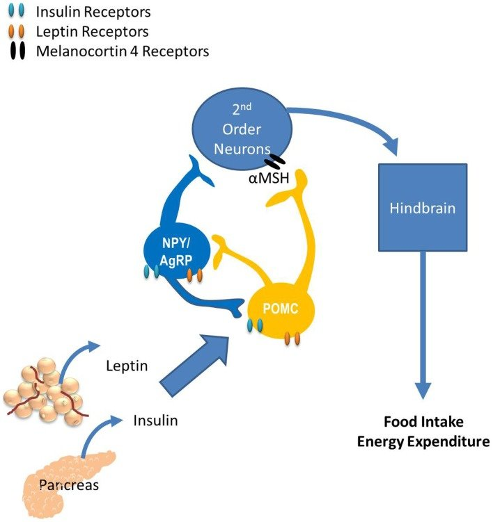 The role of the arcuate nucleus (ARC) in energy balance ...