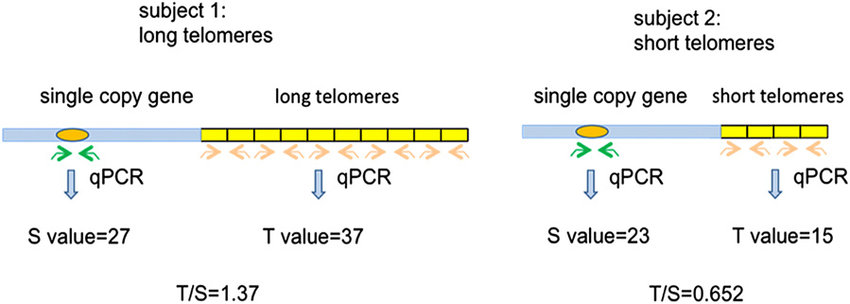Measurement of telomere length (TL) using quantitative PCR. For each...    Download Scientific Diagram