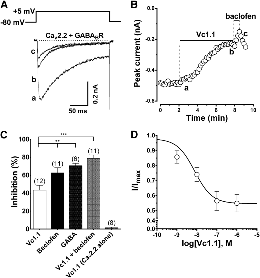 a-Conotoxin Vc1.1 inhibits Ca v 2.2 channels by activating