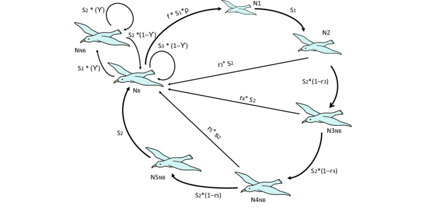 bird life cycle diagram nest wiring heat pump used to project the balearic shearwater population pre breeding census birds indicate age stage classes n1 individuals 1 year old