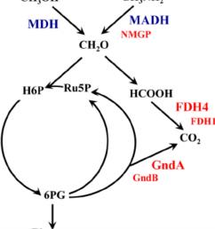 schematic representation of central metabolism of m flagellatus mdh methanol dehydrogenase madh [ 850 x 966 Pixel ]