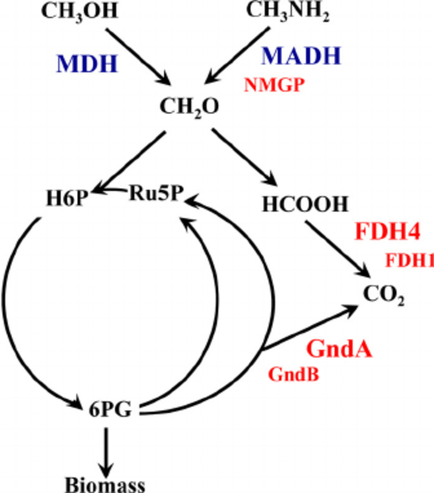 hight resolution of schematic representation of central metabolism of m flagellatus mdh methanol dehydrogenase madh