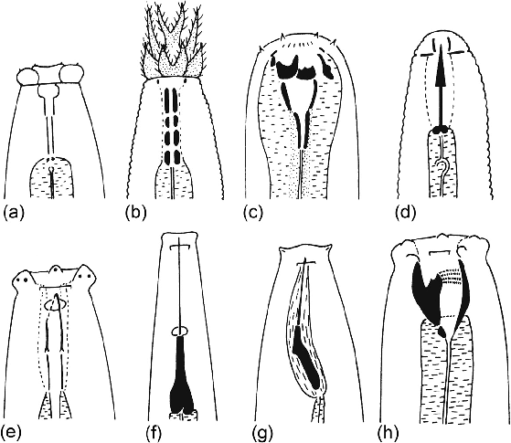 6 f0035 Head structures of a range of soil nematodes. (a