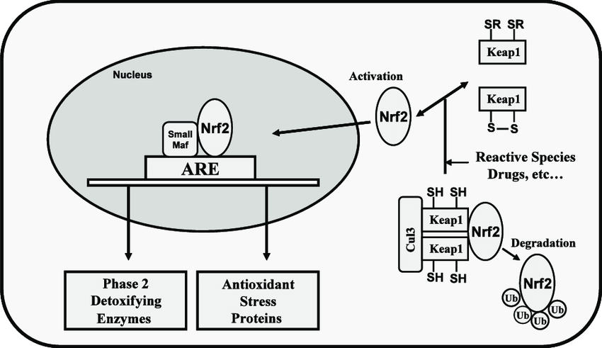 Nrf2 signaling in antioxidant response element (ARE