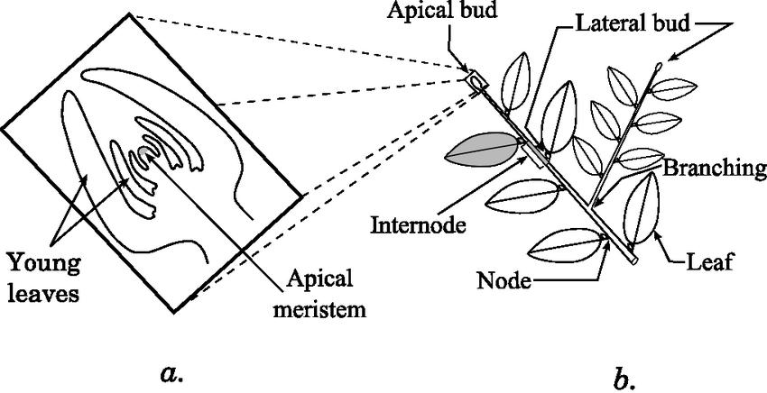 1-a. Shoot apex and b. stem organization. Each axis ends