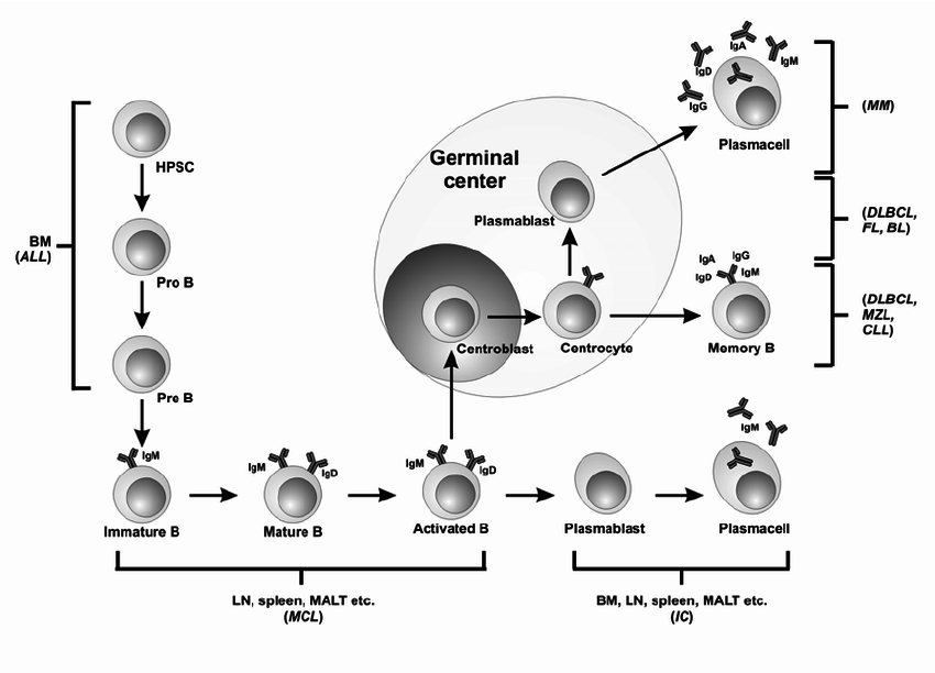 B cell development and differentiation and the