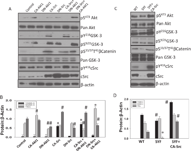 Src activity is necessary for phosphorylation of GSK-3