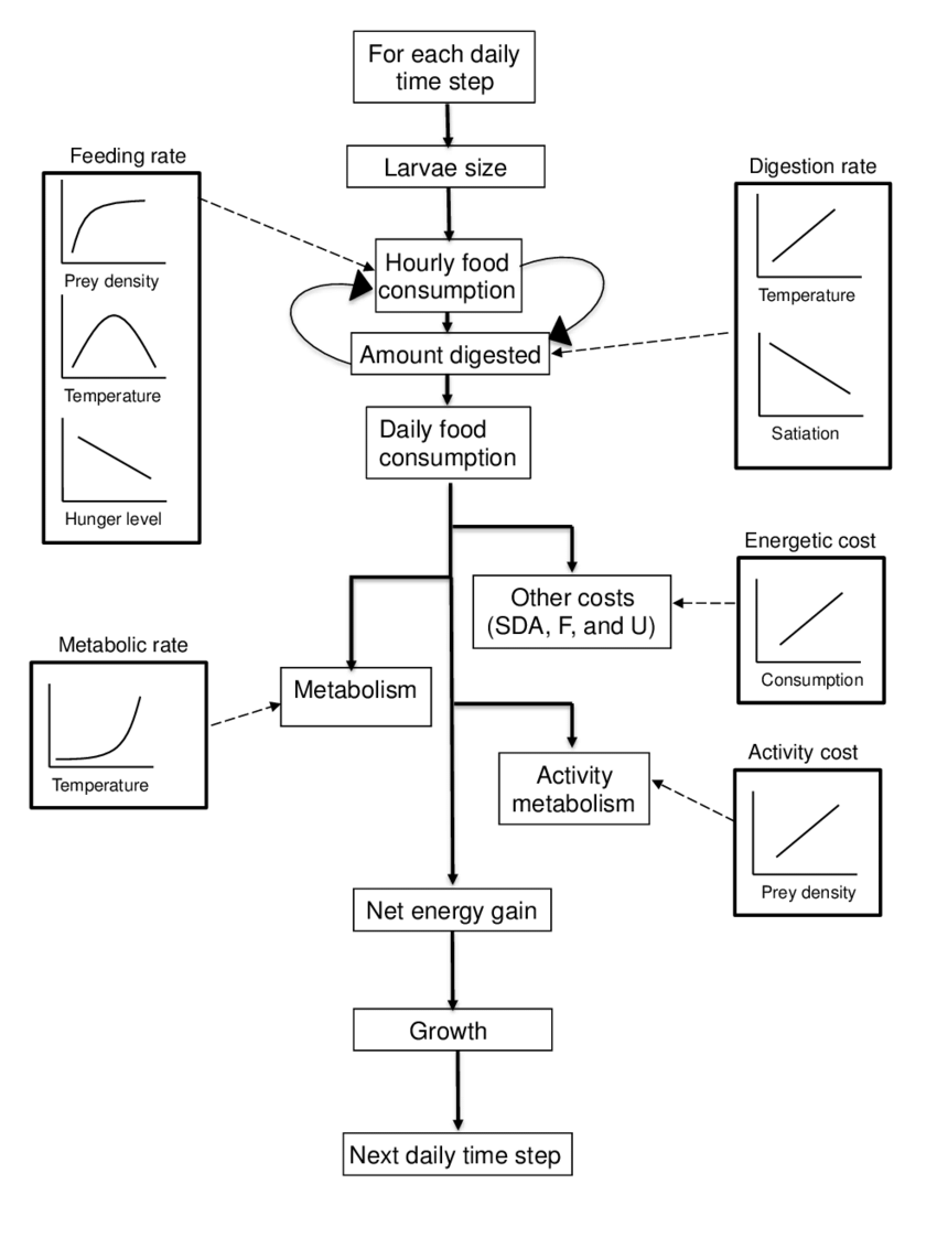 medium resolution of flow chart depicting the foraging bioenergetics model for age 0 pallid sturgeon the