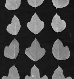 the leafl et morphology of living kudzu pueraria montana lour merr from [ 850 x 1222 Pixel ]